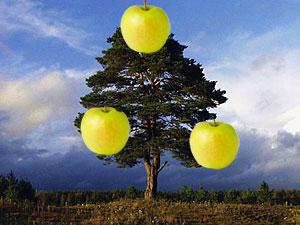 Яблоки на сосне